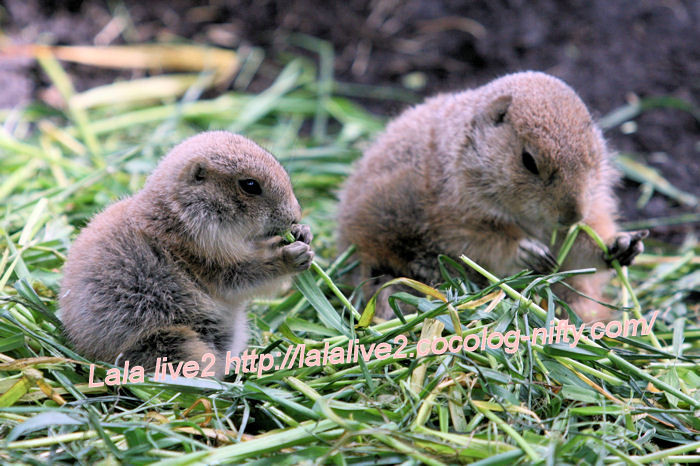 Prairiedogs20140523