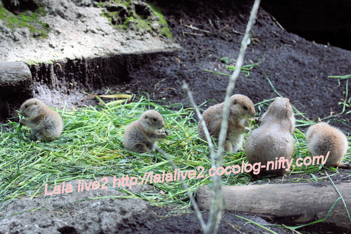 Prairiedogs201405231