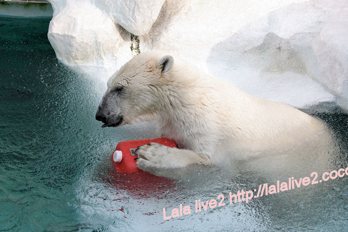 Polarbear201405234_2