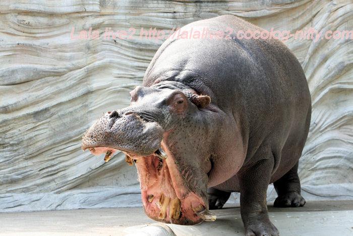 Hippo201405236