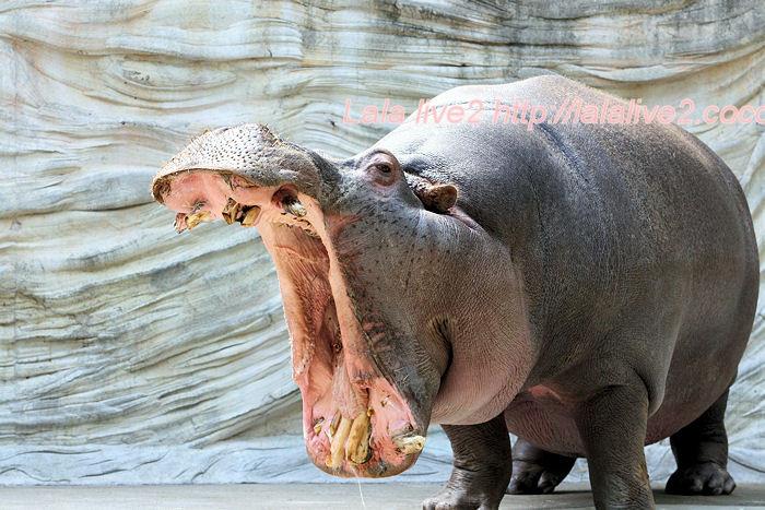 Hippo201405237
