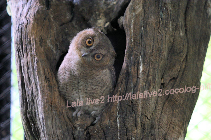 Collared_scops_owl201406301