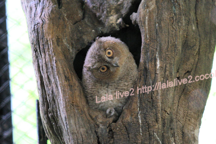 Collared_scops_owl201406302