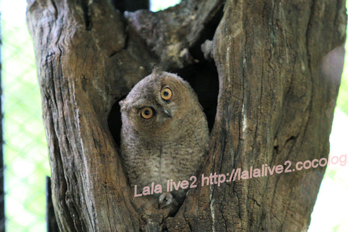 Collared_scops_owl201406303