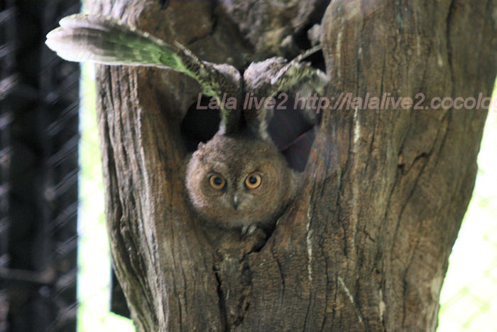 Collared_scops_owl201406304