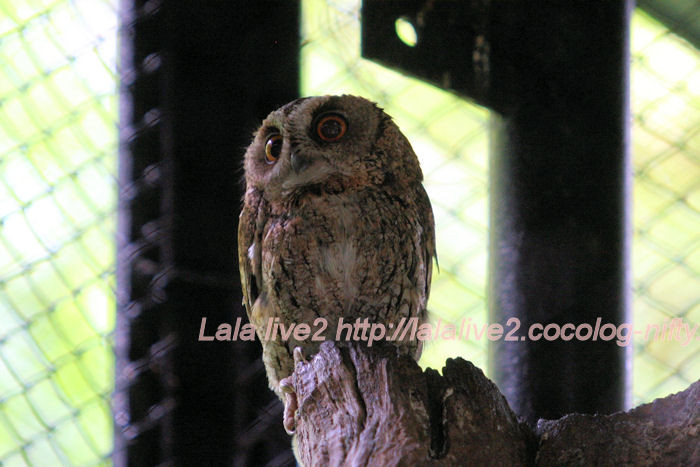 Collared_scops_owl201406305