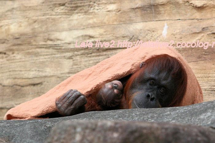 Orangutan20140630