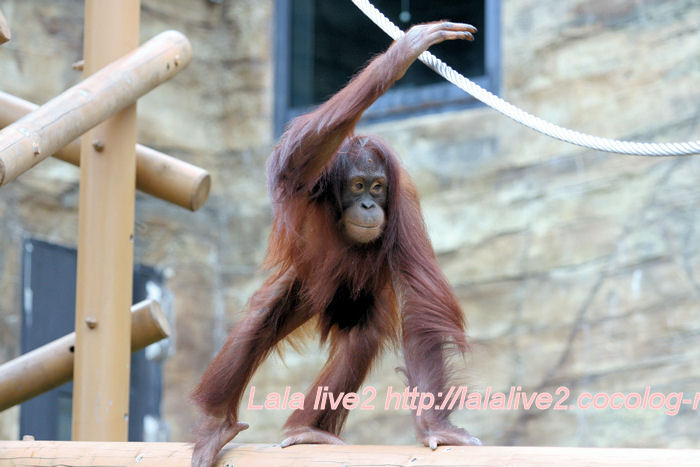Orangutan201406301