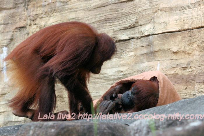 Orangutan201406302
