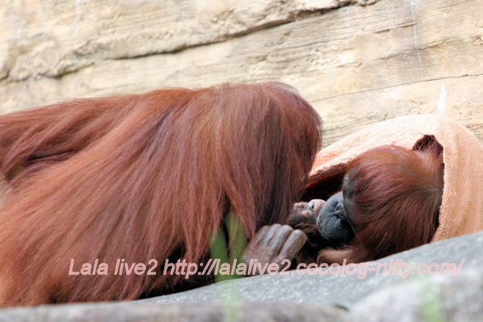 Orangutan201406303