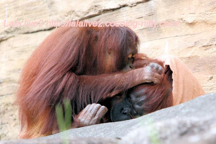 Orangutan201406304