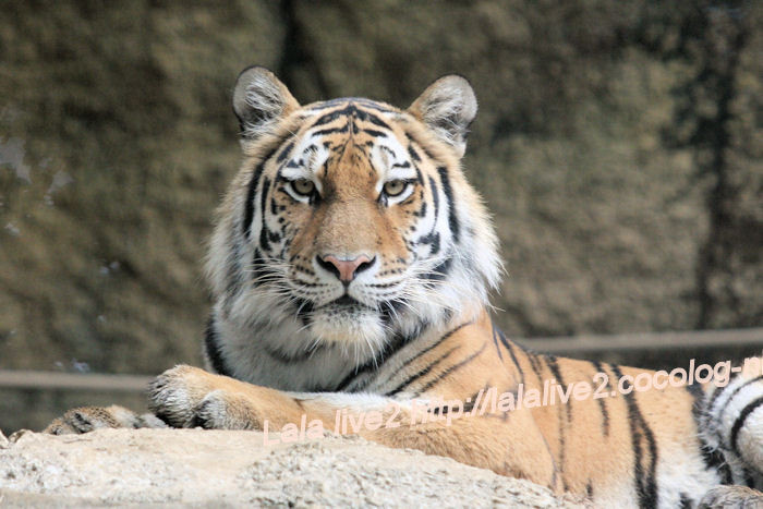 Tiger20140630