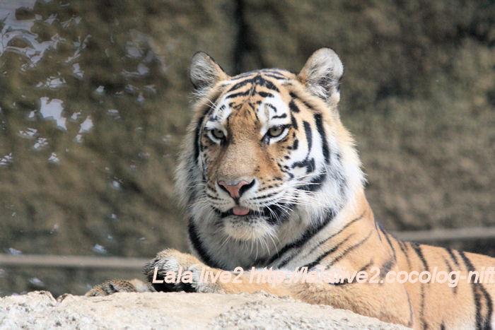 Tiger201406301