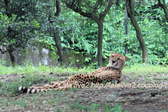 Cheetah201406301_2