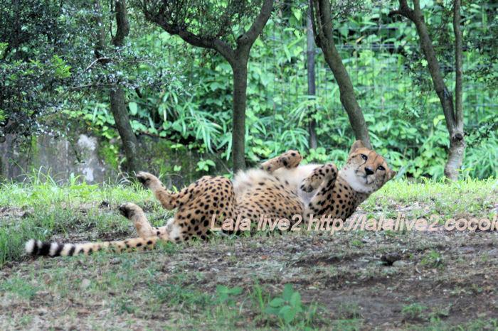Cheetah201406302