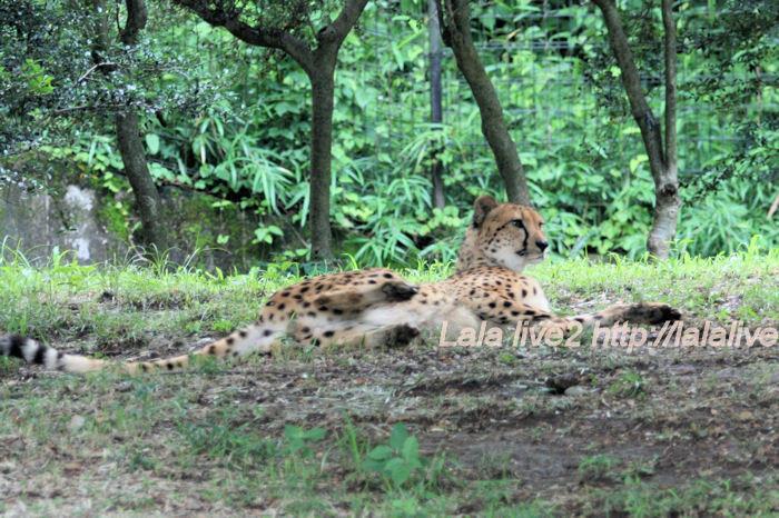 Cheetah201406303