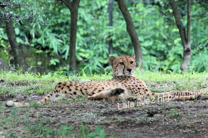 Cheetah201406304