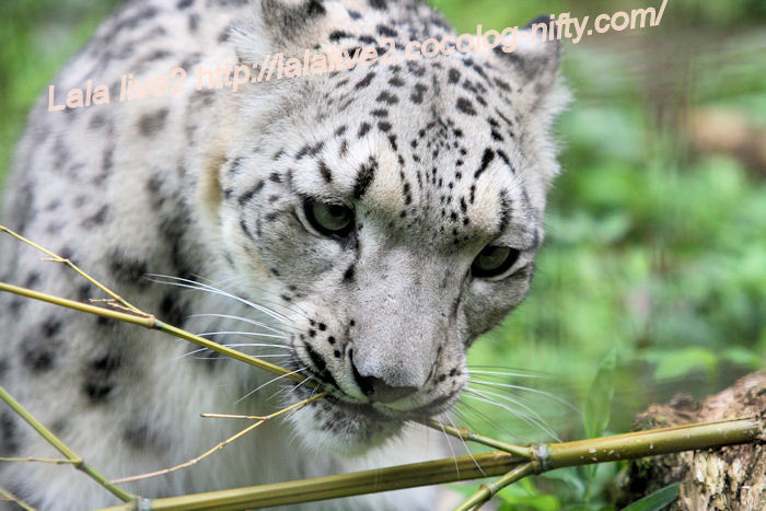 Snowleopardena201406301
