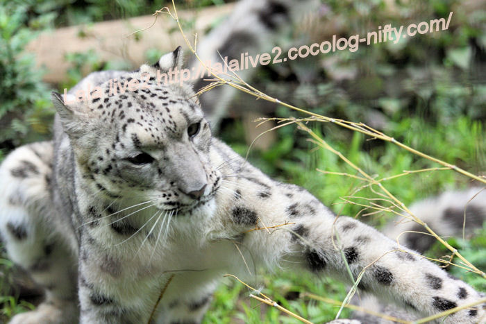 Snowleopardena201406302