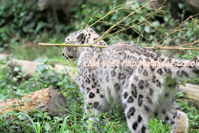 Snowleopardena201406304