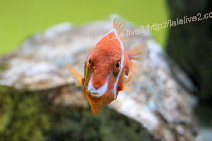 White_bird_boxfish20140731_2