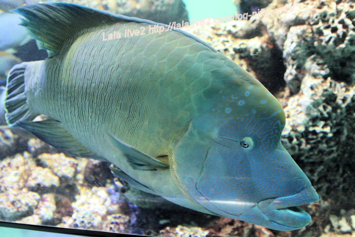 Humphead_wrasse20140731