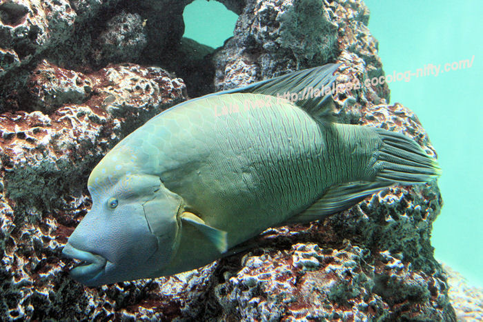 Humphead_wrasse201407311