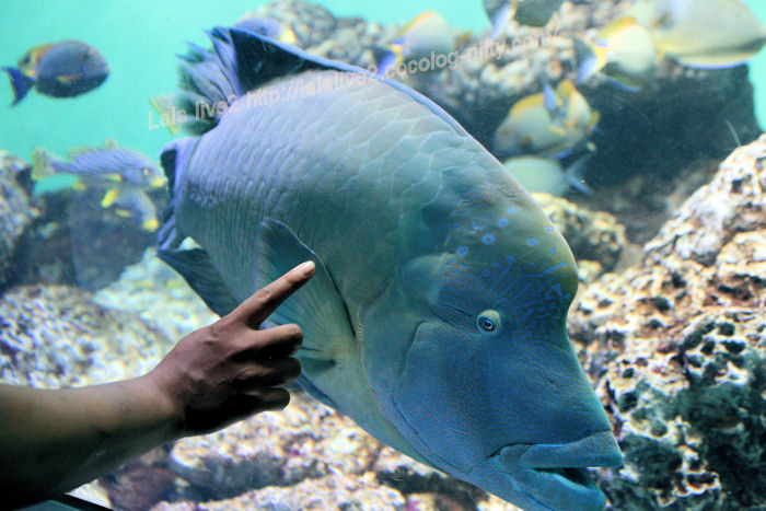 Humphead_wrasse201407312
