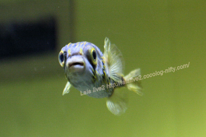 Southern_grove_fish201407311
