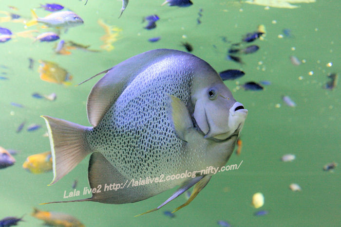 Grey_angelfish20140731
