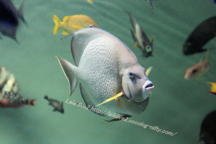 Grey_angelfish201407311