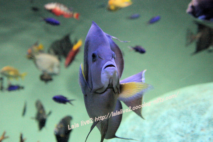 Grey_angelfish201407312