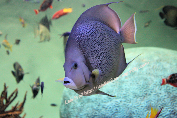 Grey_angelfish201407313