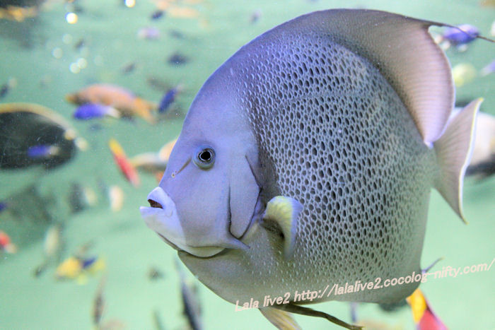 Grey_angelfish201407314