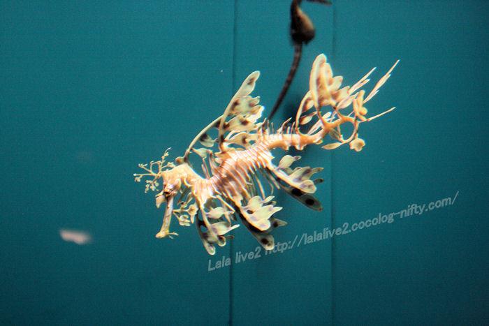 Leafy_seadragon201407311