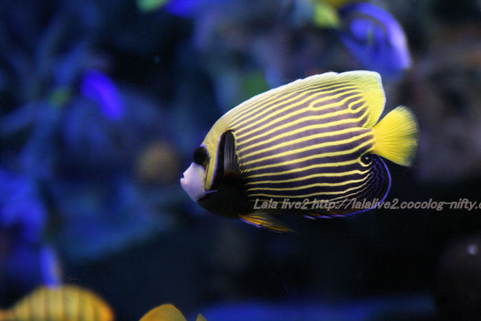 Emperorangelfish20100720sunshine