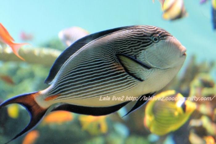 Sohal_surgeonfish20140731