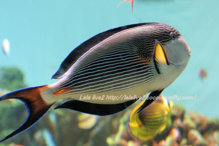 Sohal_surgeonfish201407311