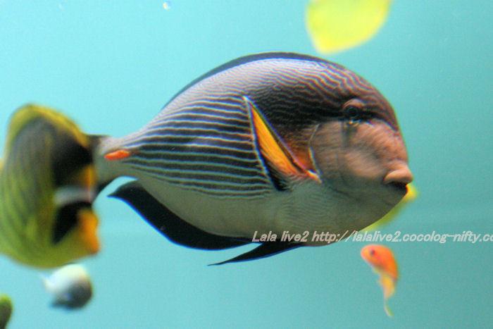 Sohal_surgeonfish201407312