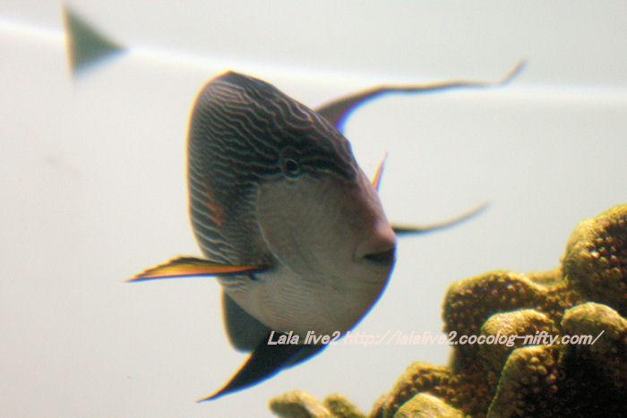 Sohal_surgeonfish201407314