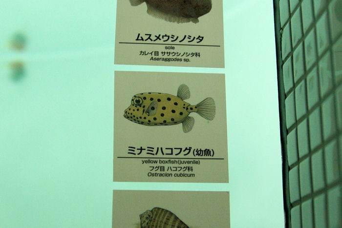 Boxfish201407312