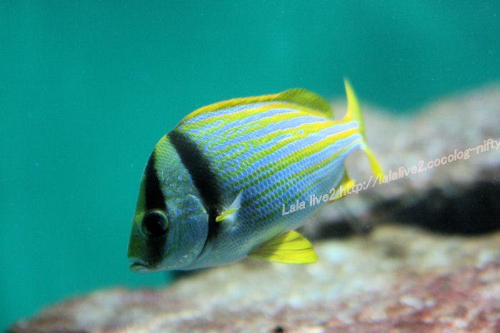 Porkfish20140731