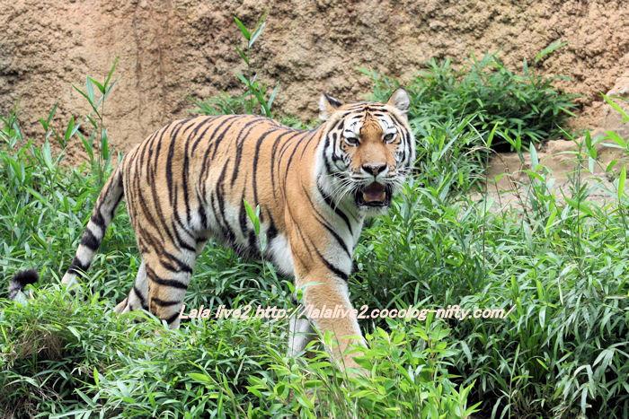 Tiger201406302