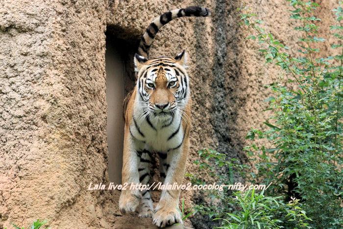 Tiger201406303