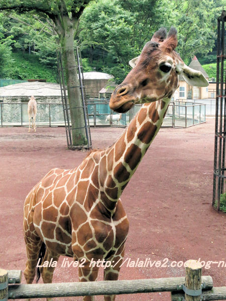 Giraffe20140630
