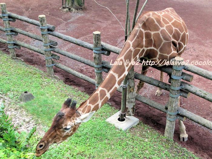Giraffe201406301