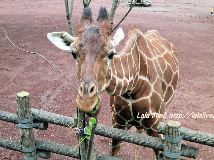 Giraffe201406302