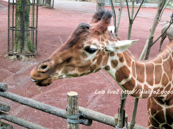 Giraffe201406303