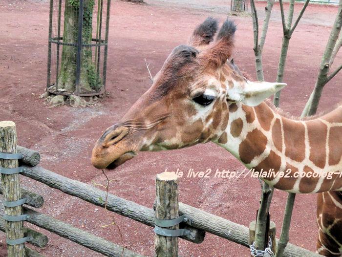 Giraffe201406304