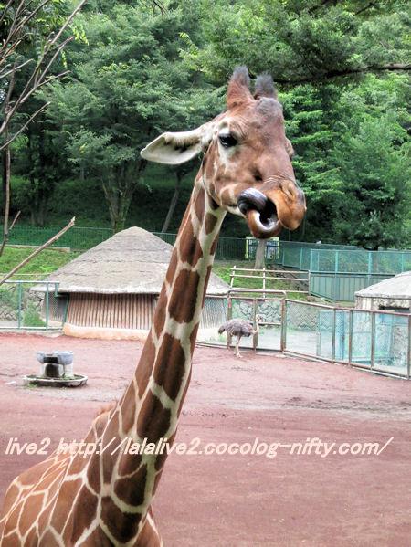 Giraffe201406305